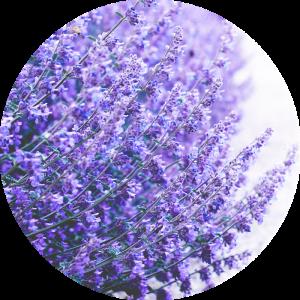 lavendel-duftbild-fandjus